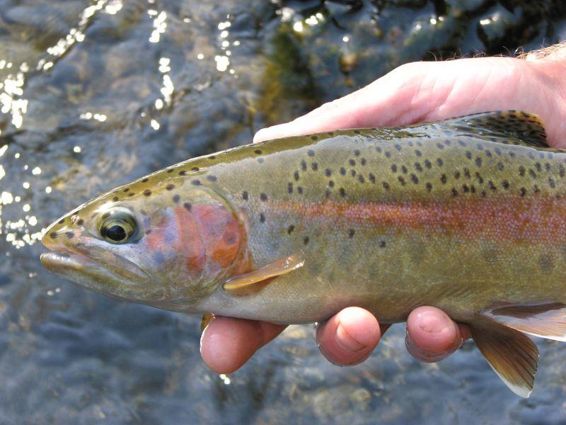 Mccloud fishing report jack trout 39 s weblog for Trout fishing california