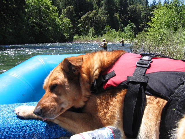 Shasta Trout Dog