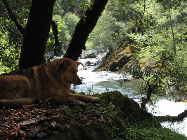 Shasta Trout Dog McCloud River