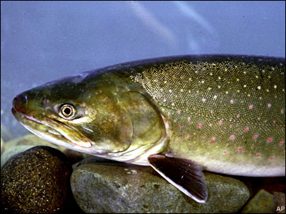 bull trout (1)