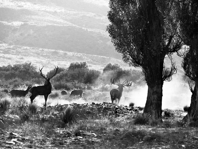 Stag fight, big boy Photo: Esteban Urban