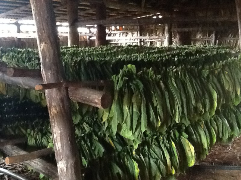 Cuba Tours To Tobacco Farms