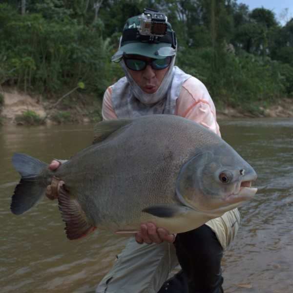 Fly Fishing Pacu In Amazon